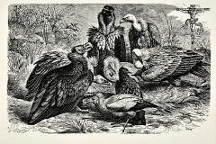 Las aves del cielo, de la serie Relectura de la Biblia, 1988, collage, grabado de Mutsel y Leben con buitres Vultur monachus, Neophron percnopterus, e gyps fulvus  Crucifixión, Durero, 1502